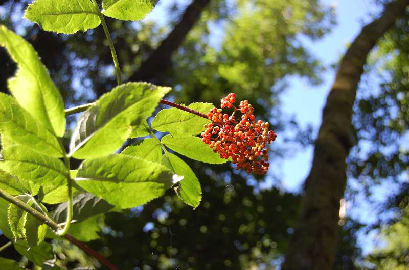 by: SUBMITTED PHOTO - The sambucus racemosa or red elderberry is one of the many native plants that will be sold during Saturday's event at the Tualatin Hills Nature Park.
