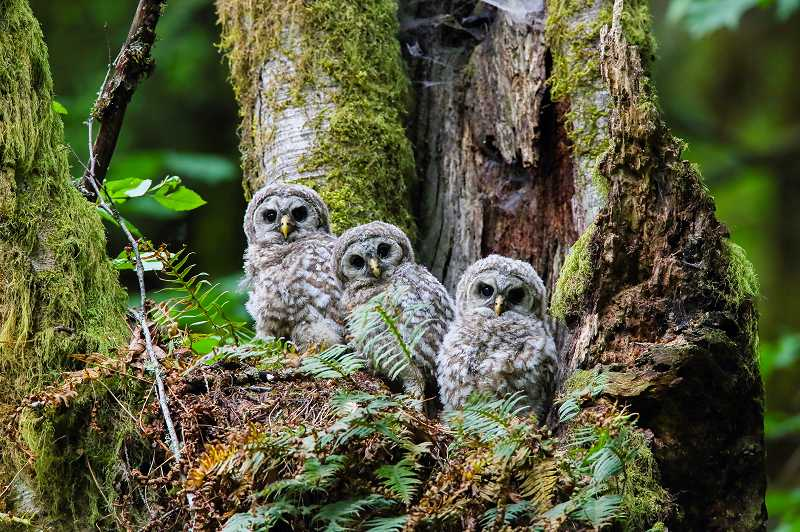 by: COURTESY PHOTO: SCOTT CARPENTER - Wildlife photographer Scott Carpenter captured these barred owls deep in an Oregon forest. His work wilil be on sale Saturday at the Fernhill Wetlands festival.