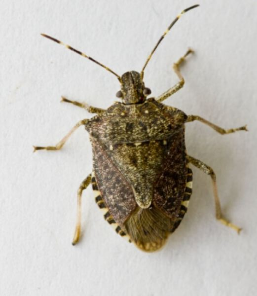 by: PHOTO COURTESY OF OSU - The brown marmorated stink bug could be the next non-native pest to seriously affect Oregon specialty crops, said Chip Bubl, Oregon State Universitys Agricultural Extension agent based in St. Helens.