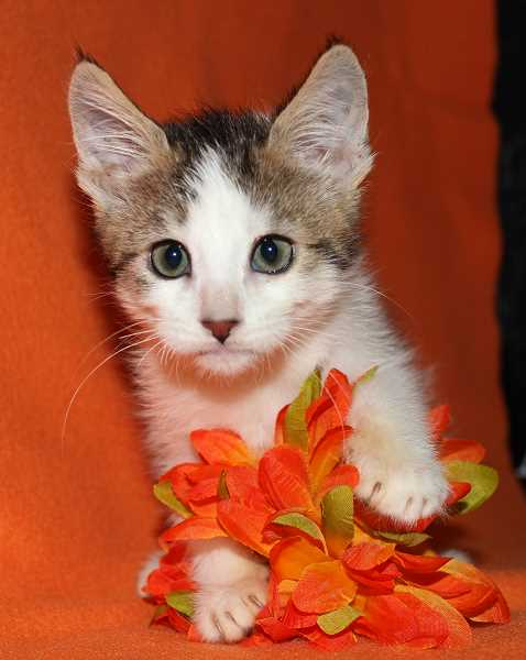 by: DANA LIONEL - Some lucky cat lover can adopt the incredibly cute Vinnie the kitten this weekend at the Spooktacular of the Oregon Cat Project in Lake Oswego.