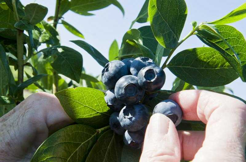 by: COURTESY PHOTO - Your brain may associate blueberries with summer, but fall is a great time to plant these hardy bushes.