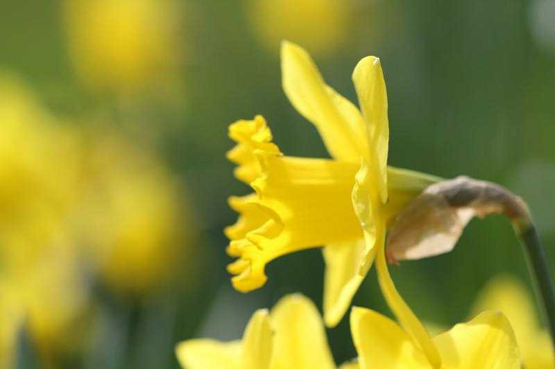 by: COURTESY PHOTO - Prepare for the early (February) -blooming of a host of golden daffodils, as poet William Wordsworth wrote, by planting bulbs right now.