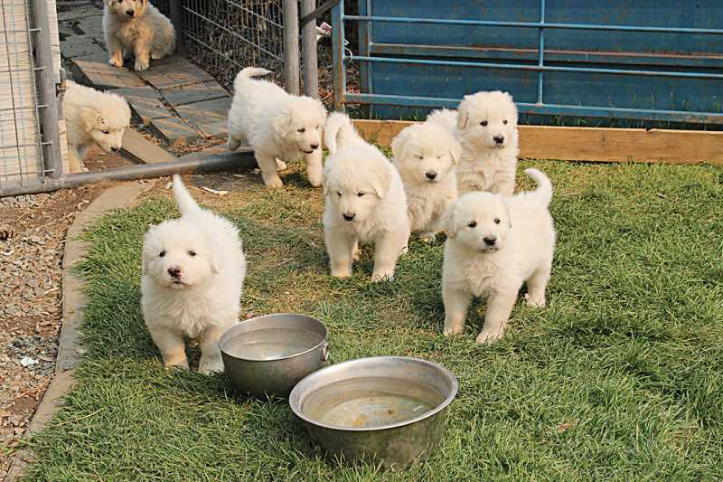 by: HOLLY M. GILL - At Hay Creek Ranch, Gordon Clark is raising Great Pyrenees puppies, relatives of the trained adult guard dogs that were shot in the Ochocos.