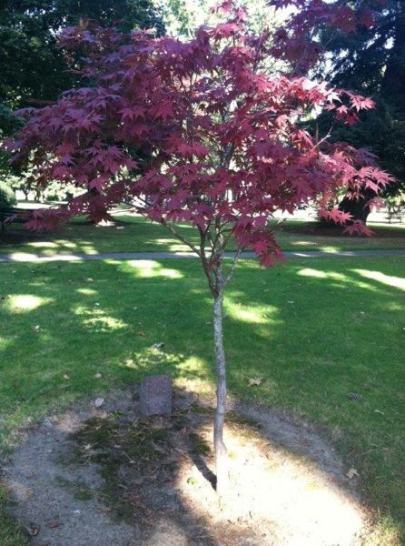 by: PHOTO COURTESY: CYNTHIA ORLANDO - Japanese maple makes a nice tree choice for smaller spaces and provides excellent fall color. Zelkova and maples are nice trees for medium-size yards, or try tulip trees for larger areas.