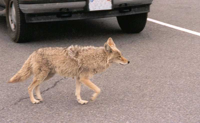by: OREGON DEPARTMENT OF FISH AND WILDLIFE - Coyotes can cause fear in people. But a little knowledge about them will help a lot.