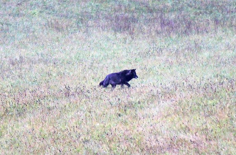 by: CONTRIBUTED PHOTO - Several residents spotted this wolf-like creature Wednesday afternoon in a field down the street from the Corbett Grade School. Many initially believed the animal seen over the past few weeks was a coyote.