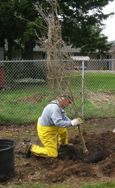 by: COURTESY OREGON DEPARTMENT OF FORESTRY - Fall is a  great time to plant a tree