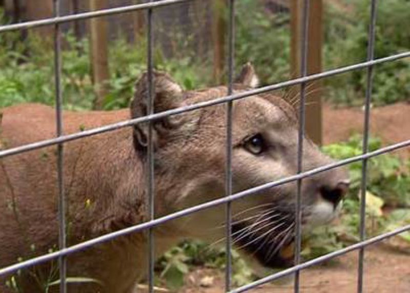 by: KOIN NEWS 6 - .A cougar at WildCat Haven sanctuary in Sherwood on July 24, 2013