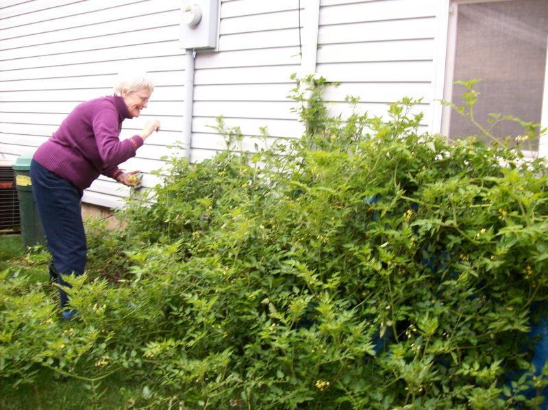 by: SUBMITTED PHOTO - As of last week, Joan Schultze was still harvesting sweet, golden cherry tomatoes from her volunteer plant.