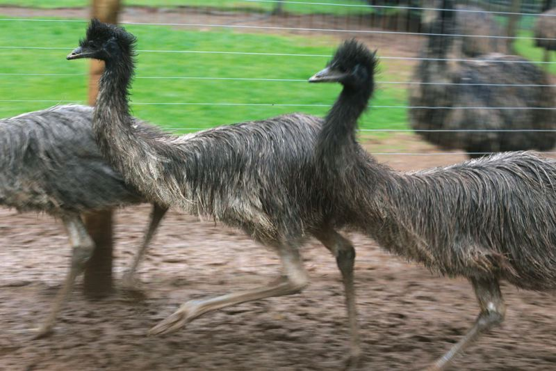 by: TRIBUNE PHOTO: JONATHAN HOUSE - A flock of 11 emu run on on Dick Satnicks farm in Beavercreek, where he put down roots last year. He plans to slowly expand the farm - and his restaurant - in ways that even hes still figuring out.