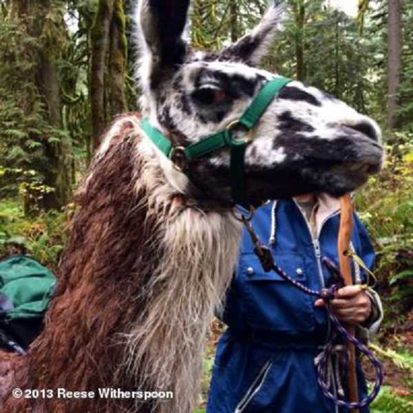 by: PHOTO COPYRIGHT: 2013 REESE WITHERSPOON - The scene shot in Eagle Fern Park features a llama. Witherspoon posted this photo to her Twitter page with this caption: 'My costar today #dramaticllama#gettingWILD.'