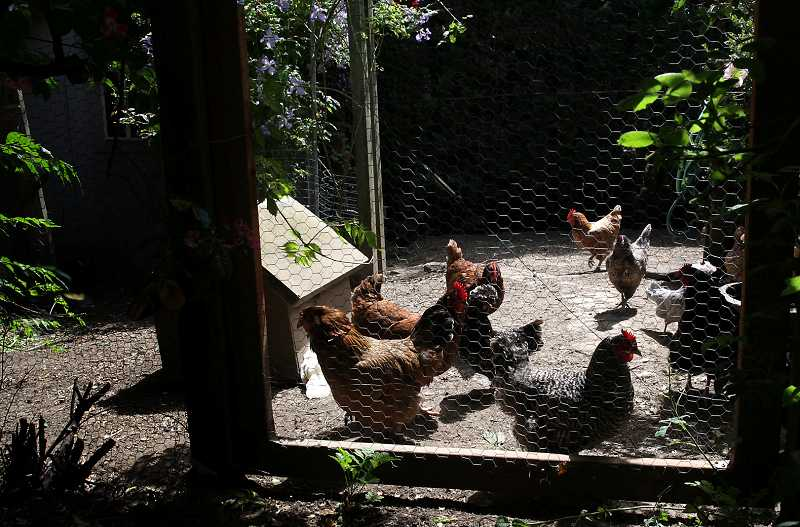 by: TIMES FILE PHOTO - Tualatin City Councilors have approved a plan to allow residents to keep up to four chickens on their property. The issue has divided residents, and the city council.