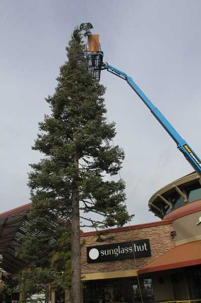 by: JEFF MCDONALD  - A worker plugs a limb to a 75-foot white fir at Woodburn Premium Outlets.