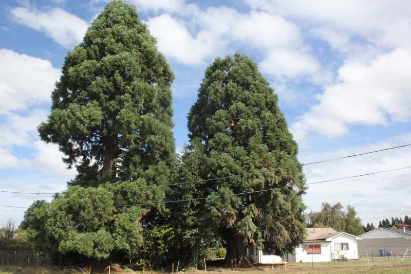 by: JEFF MCDONALD - These two sequoias along Highway 214 will be removed for a sound wall, as long as ODOT's tree removal permit is approved.