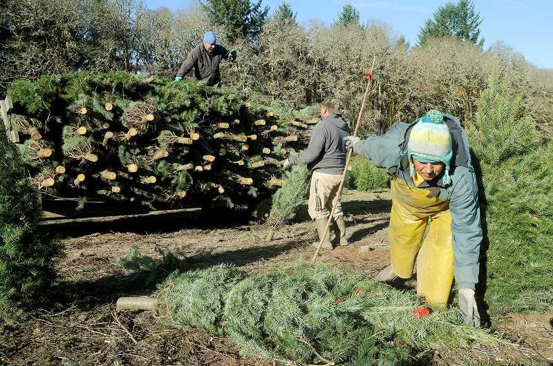 by: GARY ALLEN - Harvesting while sun shines - Christmas tree growers throughout Yamhill County are busy harvested trees for export around the world and for the local market. Recent dry weather has been a boon to growers and harvesters, an unusual occurrence in late November.