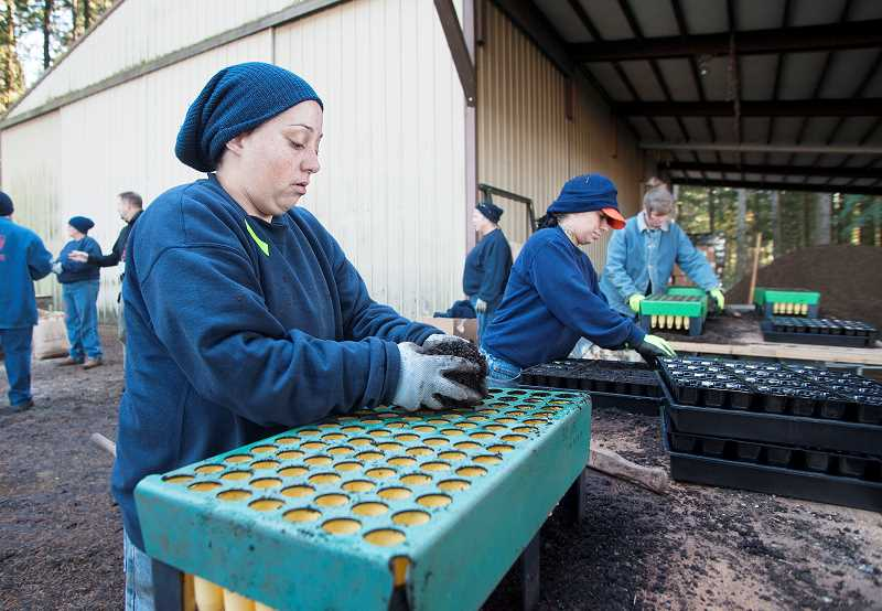 by: JOSH KULLA - Coffee Creek inmates plant violets Nov. 22 as part of a wider effort by the Oregon Sustainability in Prisons Project to help preserve the Oregon silverspot butterfly. This eventually could produce tens of thousands of mature host plants for the butterflies.