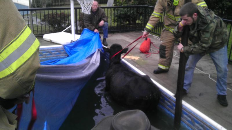 by: PHOTO COURTESY OF MCMINNVILLE FIRE DEPARTMENT - Firefighters lend a helping hand in getting a cow out of a swimming pool on Saturday.