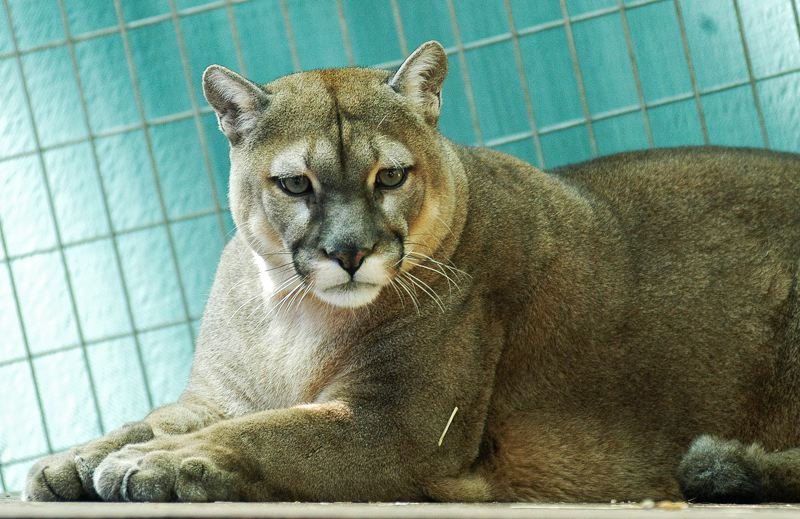 by: SPOKESMAN PHOTO: JOSH KULLA - In a heavily covered tragedy, an employee at the Wildcat Haven outside Wilsonville was attacked and killed by one of the sanctuary's cougars.