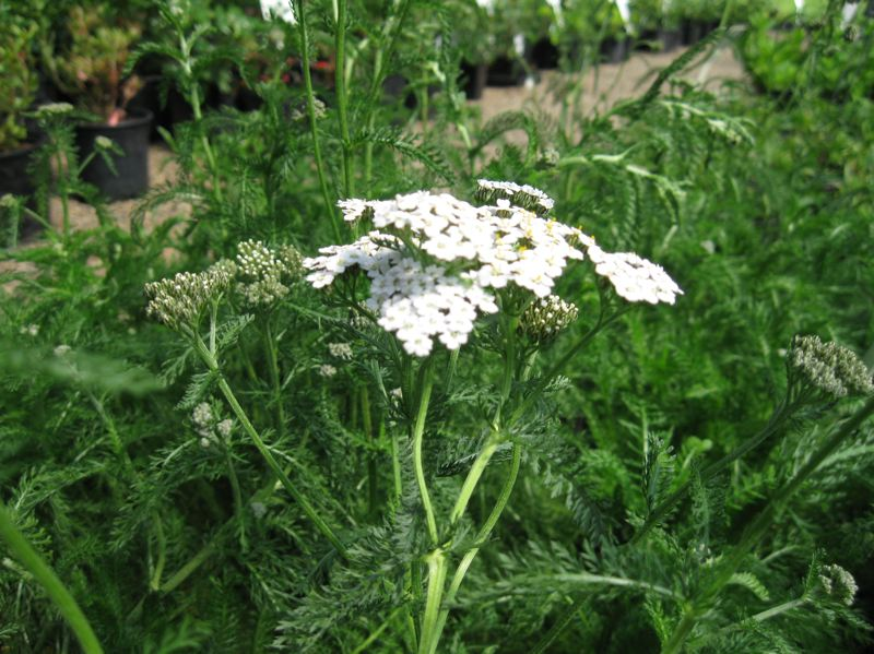 by: PHOTO COURTESY OF OREGON DEPARTMENT OF FORESTRY - Yarrow makes a good addition to a rain garden.