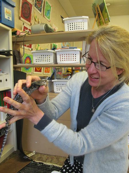 by: PHOTO BY ELLEN SPITALERI - Marylhurst teacher Britta Daubersmith gently removes Billy from his enclosure in her third-fourth grade classroom.