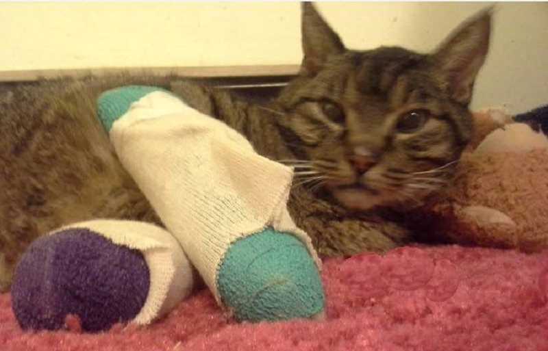 by: SUBMITTED PHOTO - Buddy Holly the cat arrived at the shelter with two broken legs, and though he died shortly after surgery, shelter workers can take solace knowing they did what they could to help.