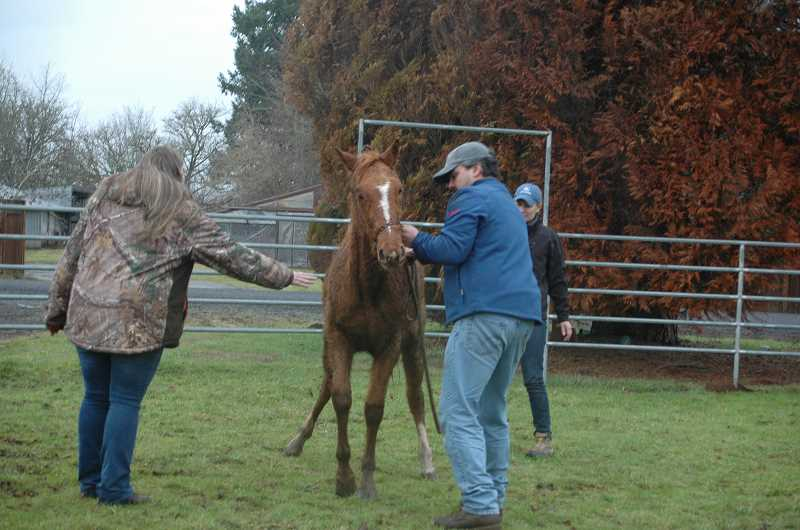 by: ISABEL GAUTSCHI - Jolly, another one of the Christmas Six, has trouble getting to his feet after a medical procedure. Prior to his rescue, Jolly had not been halter trained. Veterinarian David Asmar enlists the help of vet technician Ashley Dunn and veterinarian Flynn Magorian to handle the new gelding.