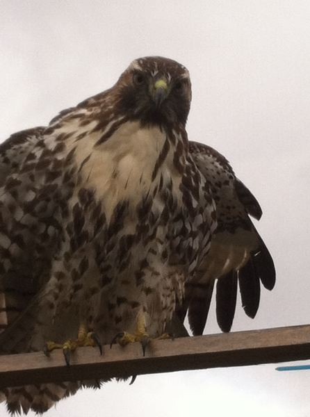by: CONTRIBUTED PHOTO BY PATRICK BLANCHARD - This juvenile red hawk has been spotted around Gresham City Hall. Raptors like this will be the subject of a presentation in council chambers Jan. 23.