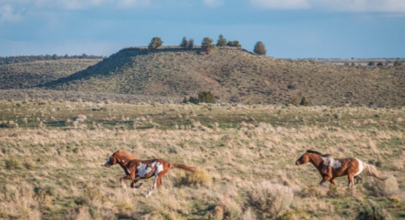 by: COURTESY OF OPB - Wild horses roam in Oregon, if regulators don't lock them up in corrals.