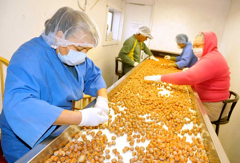 by: GARY ALLEN - Future in question - Sorters for Willamette Hazelnut Growers inspect filberts before they are packaged and shipped out. With the proposed Food Safety Modernization Act, hazelnut farmers could see increased quality standards.
