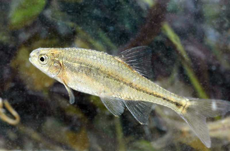 by: OSU - An Oregon chub minnow