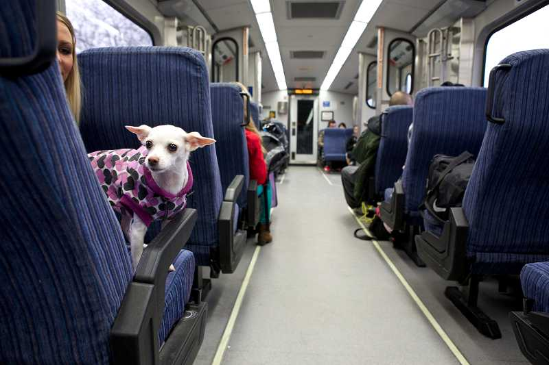 Ava, a Chihuahua-Chinese Crested mix, sits in a chair like a person, while traveling with its owner, Jenn Bloemker, on a TriMet Wes train from Tigard to Beaverton.