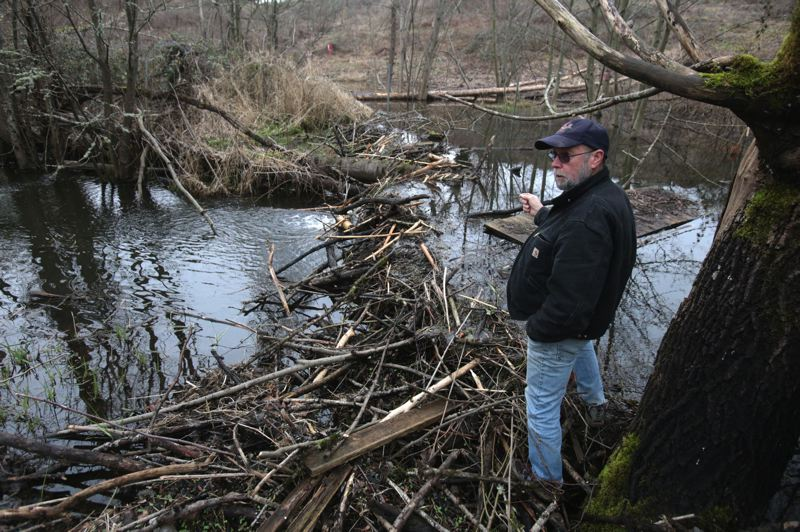 by: PHOTO BY: JON HOUSE - John Young shows where a beaver (or beavers) have constructed a dam behind his property in Milwaukie.