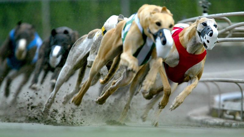 by: TRIBUNE FILE PHOTO: KYLE GREEN - Greyhounds race through a turn at Multnomah Greyhound Park, formerly Multnomah Kennel Club, in 2004, the track's final season.