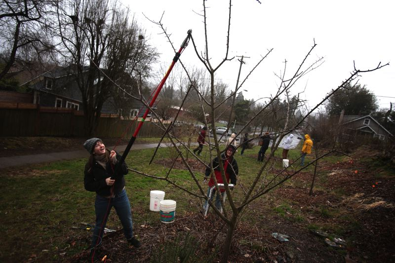 by: TRIBUNE PHOTO: JONATHAN HOUSE - Volunteer Michelle Moulton prunes the top of a tree in the community orchard, one of the stops along the Sabin Bee Friendly Garden tour.