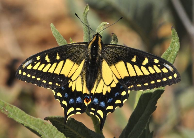 by: PHOTO COURTESY OF PETER BRYANT - Anise swallowtail butterfly