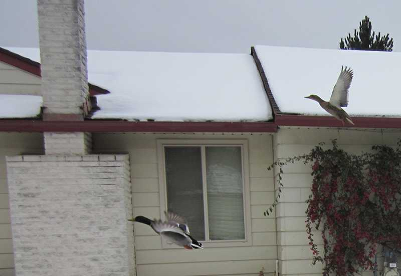 by: BARBARA SHERMAN - NOT FIT FOR MAN OR BEAST OR DUCK - Two ducks take off from a snowy King City front yard, maybe in search of warmer climes until the frigid weather comes to an end.