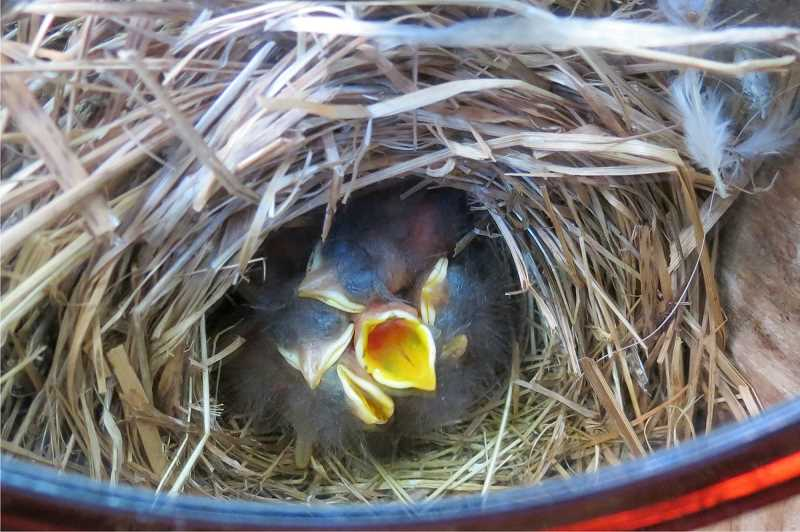 by: COURTESY OF NANCY FRASER - These bluebird hatchlings are ready for lunch. The Prescott Bluebird Recovery Project is hosting a workshop on Saturday, March 8, at Champoeg State Heritage Park, from 9:30 a.m. to 12:30 p.m.