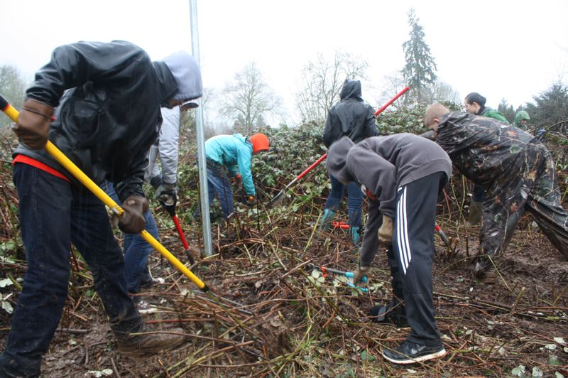 by: SPOTLIGHT PHOTO: ROBIN JOHNSON - Scappoose Middle School students in Sally Mills' homeroom class spent their afternoon Wednesday, March 5, in the rain tearing, digging and clipping invasive blackberries from a riparian zone along South Scappoose Creek in Creekview Park. Mills said students wanted to find a project that would benefit the community and eventually partnered with the Scappoose Bay Watershed Council for the effort. 'We will be heading back out in about a month to plant native plants in the hopes of creating a more diverse habitat for organisms within the riparian ecosystem,' Mills said.