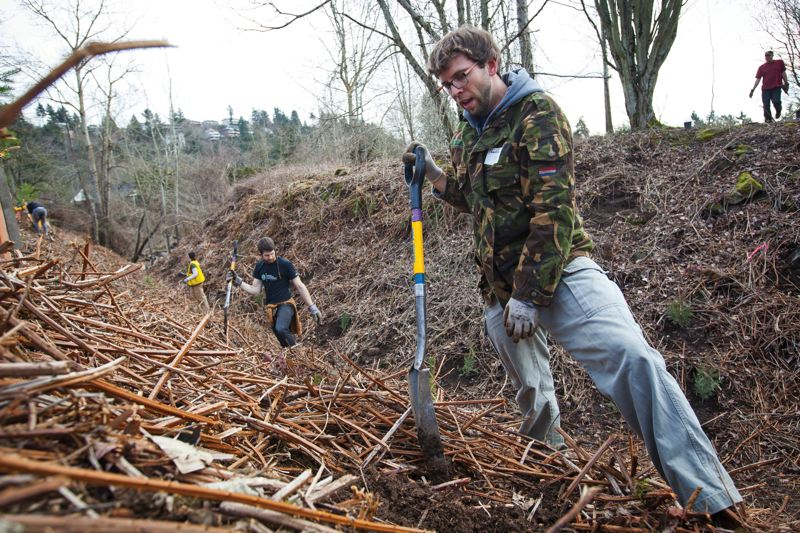 by: PHOTO COURTESY OF JEFFREY BALL - Friends of Trees volunteer Charlie Thompson says the Northeast Portland site is one of the most challenging hes ever faced for tree planting.