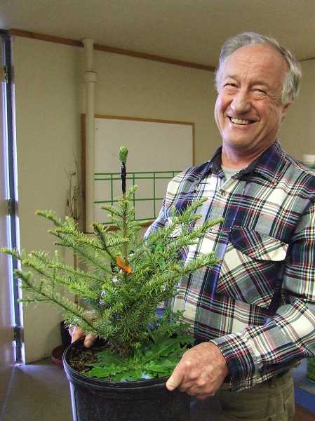 by: SUBMITTED PHOTO - OSU Extension Christmas Tree specialist Chal Landgren with a newly grafted noble fir for the NWREC seed orchard.