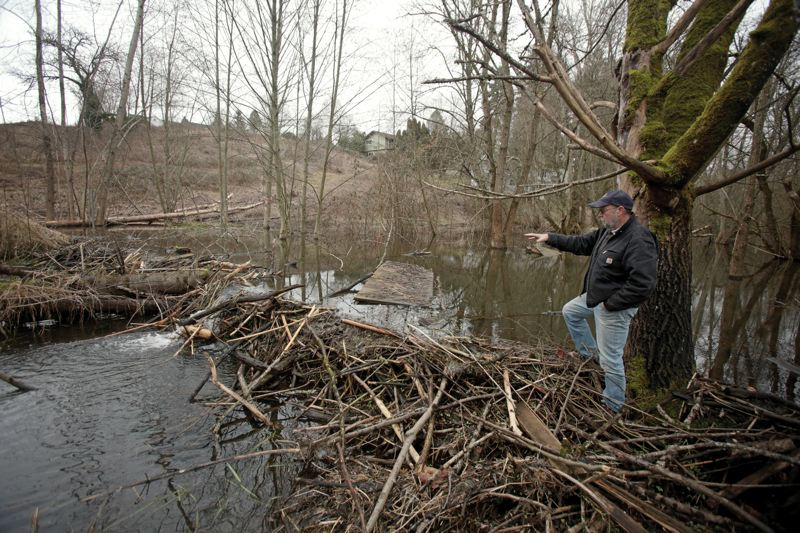 by: PAMPLIN MEDIA GROUP: JONATHAN HOUSE - John Young shows where beavers built a dam behind his property near Kellogg Creek in Milwaukie.
