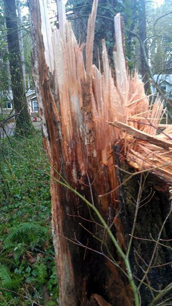 by: CONTRIBUTED PHOTO - The tree that caused the damage split during the night due to wind gusts of more than 30 mph.