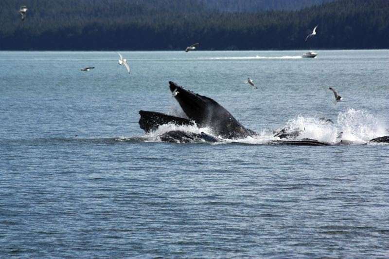 by: HILLSBORO TRIBUNE PHOTO: DOUG BURKHARDT - Whales are the largest mammals on Earth, and late March is an ideal time to catch a glimpse of them as they migrate northward toward Alaska.