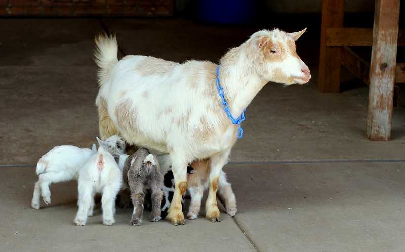 by: NEWS-TIMES PHOTO: STEPHANIE HAUGEN - Mama goat Flora is diligently caring for all five of the kids she birthed last week. A goat her size produces about a quart of milk a day.