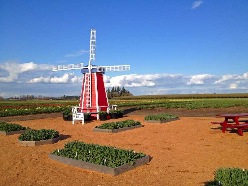 by: BARB IVERSON - Tulips at Wooden Shoe Tulip Farm are already starting to bloom, so organizers suggest that anyone planning to head out to the fields this spring do so earlier than later.