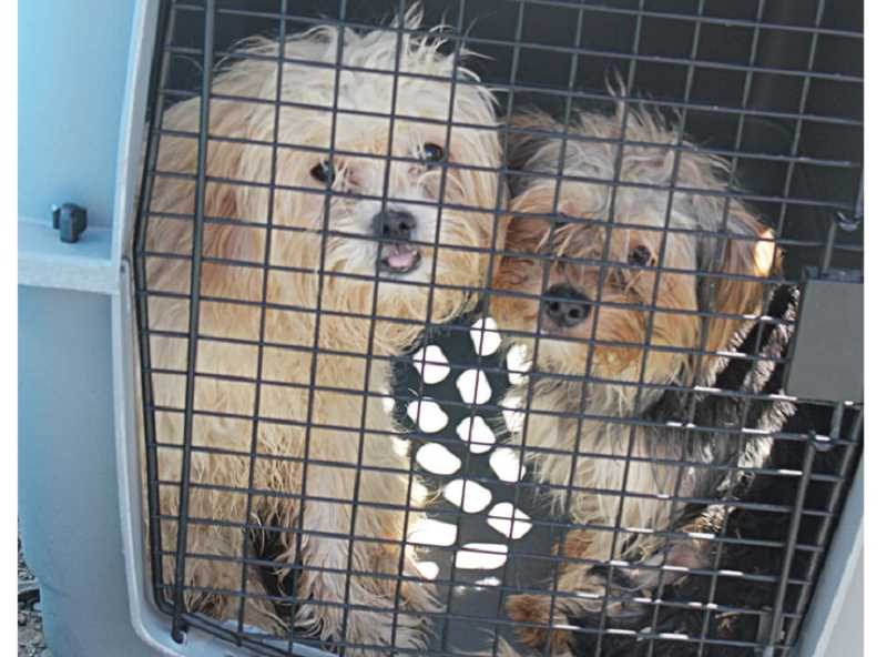 by: HOLLY M. GILL - A pair of Maltese Yorkies await processing at the Three Rivers Humane Society on Saturday.