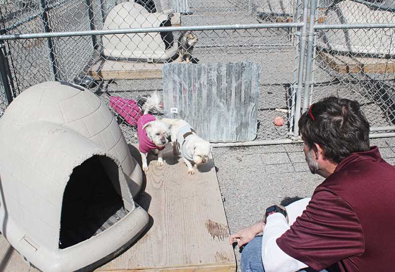 by: HOLLY M. GILL - Steve Drynan, director of the Three Rivers Humane Society, tries to coax over several dogs the facility took in from an illegal kennel operation. Three Rivers took in 29 small dogs from the operation.