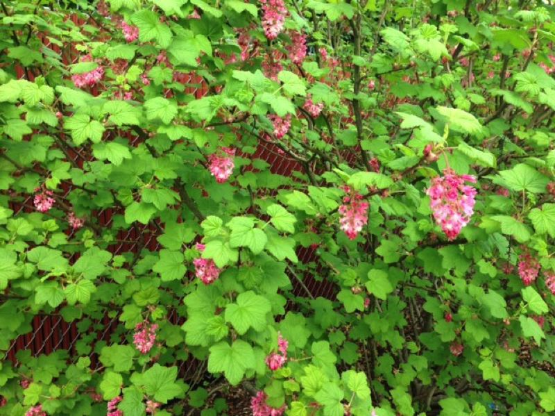 by: CYNTHIA ORLANDO - Red flowering currant is a showy and attractive deciduous northwest shrub that's easy to grow and establish.