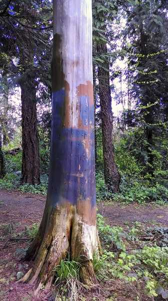 by: OUTLOOK PHOTO: CARI HACHMANN - A tree that was covered in graffiti in the park has permanent markings.