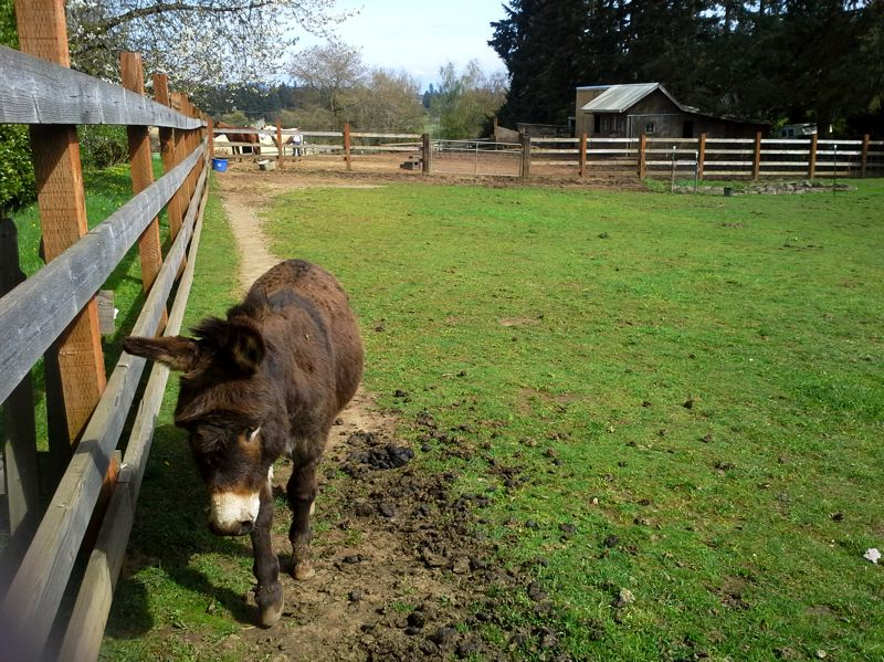 by: TIMES PHOTO: CAITLIN FELDMAN - Currently, 12 Meditteranian miniature donkeys live at Tollen Farm.